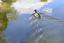 Parc Monceau Paris-a duck in the pond