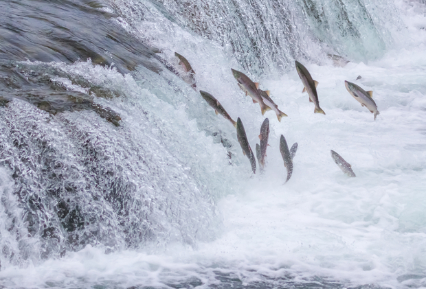 Trout Leaping Out Water