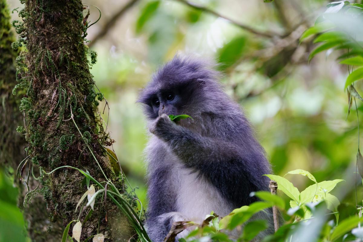 Surili, Primata Endemik Penyebar Benih Pohon yang Berdampak Besar Bagi Lingkungan