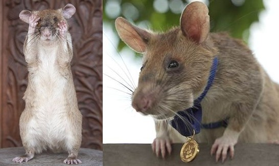 This Rat Sniffs For Landmines In Cambodia–And Has Just Won A Gold Medal For  His Life-Saving Work