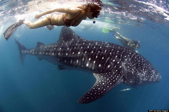 Diving with whale sharks
