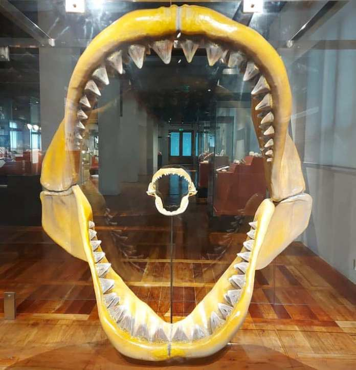 Megalodon tooth fossil Bohol