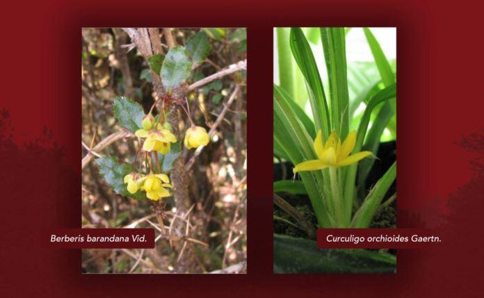 Medicinal plants COVID 19 treatment