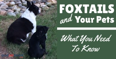 Foxtails and Your Pets: What You Need to Know