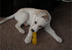 rawhide and your dog: Chew toys like Nylabones are a much safer alternative!