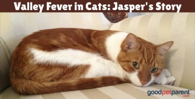 valley-fever-in-cats-jaspers-story