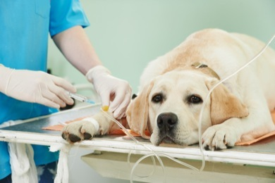 GoodPetParent canine parvovirus labrador dog on IV in clinic