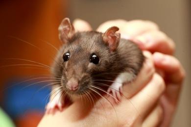 Friendly pet brown rat in human hand