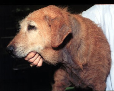 Dog with a malassezia skin infection