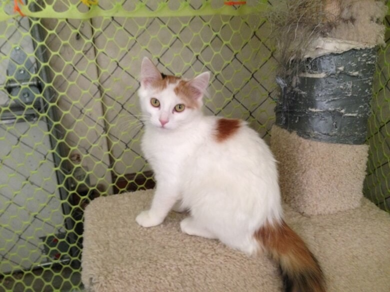 This animal rescue calico was adopted from Cool Cats Rescue by her forever family