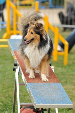 dog on see saw in agility course