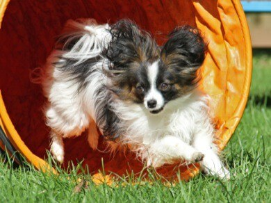 small papillon demonstrates agility in tunnel