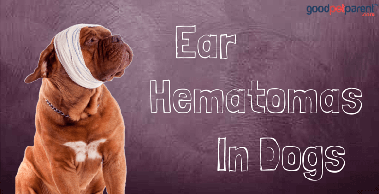 Ear Hematomas In Dogs - Good Pet Parent