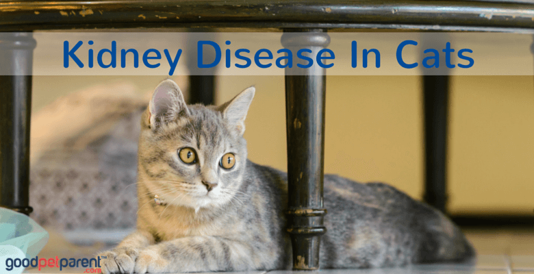 Kidney Disease In Cats feature image
