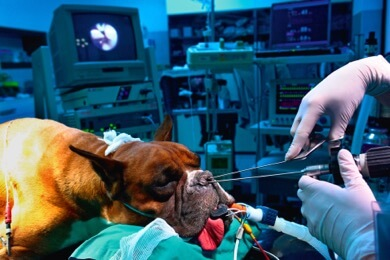 veterinary operating room dog in surgery