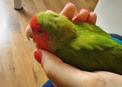 parrot being held