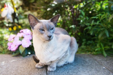 cancer prone siamese cat