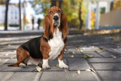 basset hound not suited for running