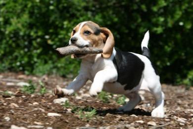 Beagle highest rates of epilepsy