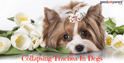 Collapsing Trachea In Dogs