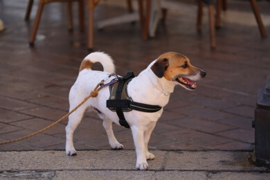 dog in harness collapsing trachea