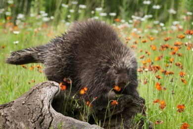 porcupine with flowers