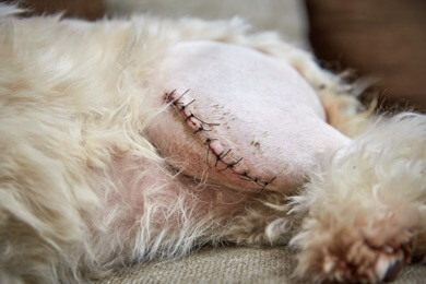 surgical incision for luxating patella in dogs