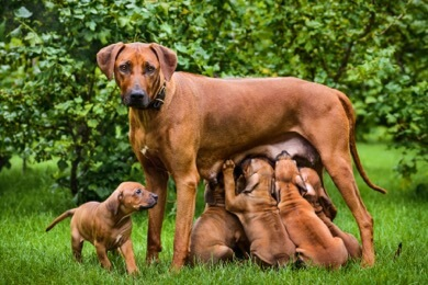 canine distemper infected mother's milk