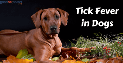 tick fever In dogs feature image