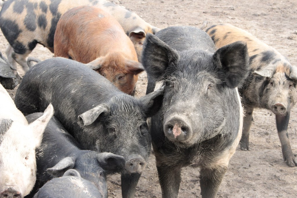 Our Gate To Your Plate Pigs