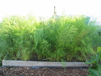 asparagus health benefits- fully grown asparagus plant