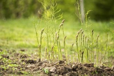 asparagus health benefits- asparagus shoots