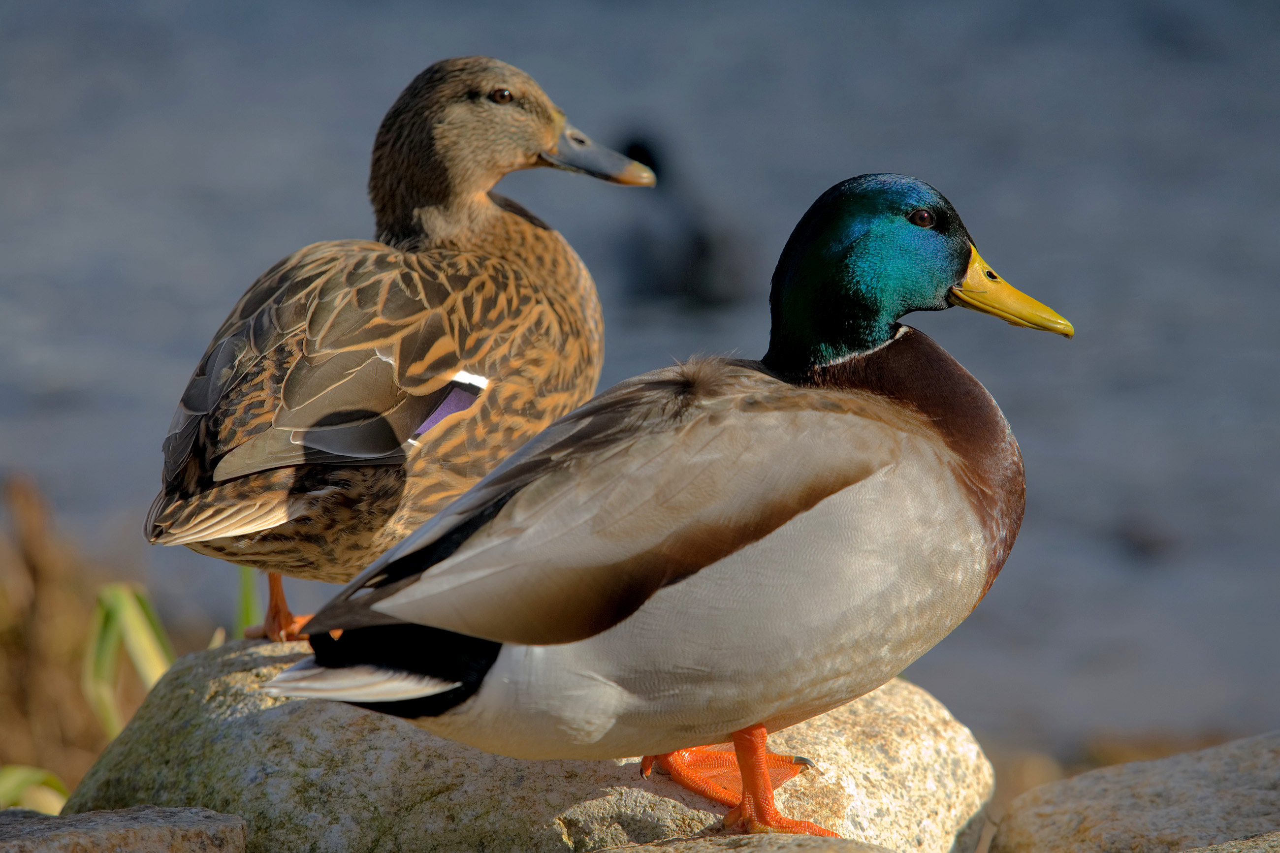 duck nutrition - good whole food