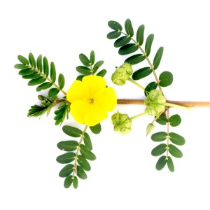 Tribulus Terrestris Uses - flower
