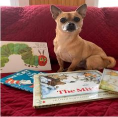 Murphy the chihuahua with picture books
