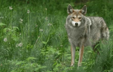 Волк напал на двух детей в Бещадах. Что делать, если на вас нападает дикое животное?