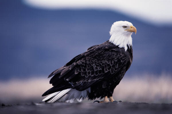 https://i2.wp.com/www.gorgeecology.org/wp-content/uploads/2012/01/BaldEagle2.jpg