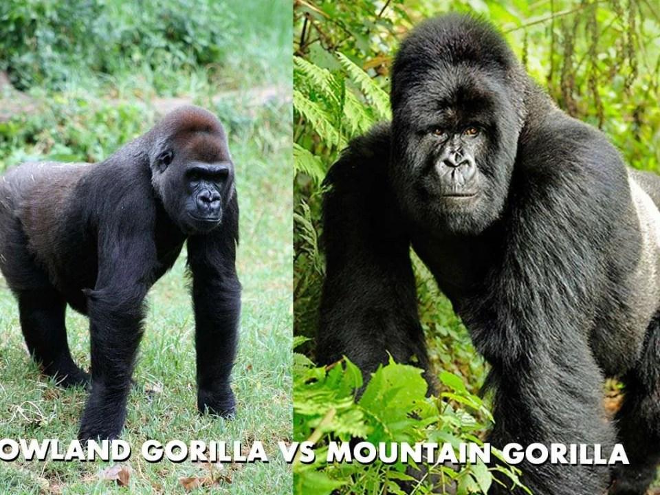 Comparing Mountain Gorillas vs Lowland Gorillas