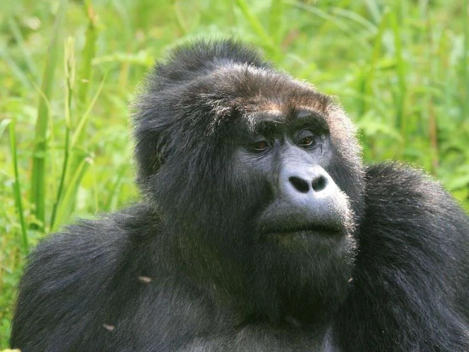 Ruhija Gorilla Groups in Bwindi Forest