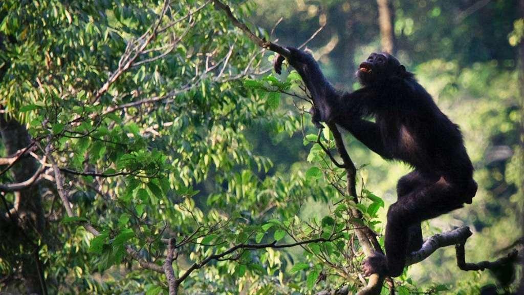 seeing chimpanzees in Uganda