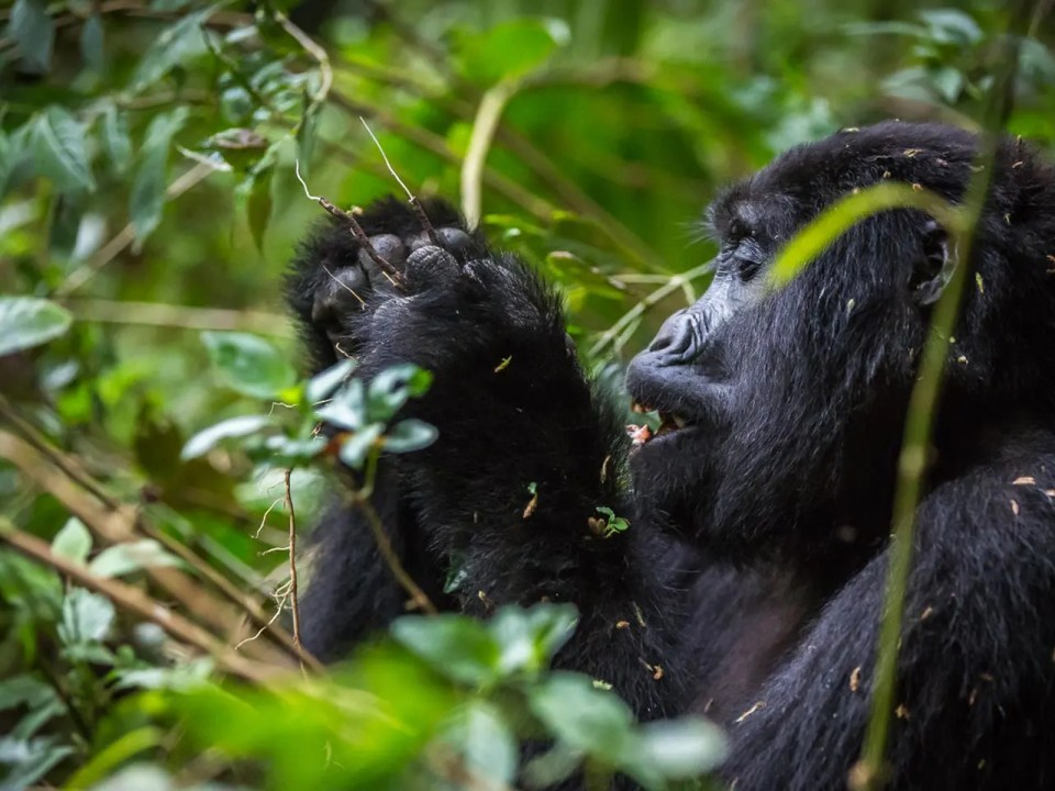 Reasons to See Gorillas in Uganda - Gorilla Trekking Safari in Uganda