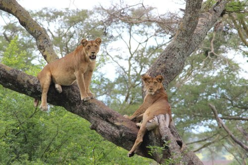 Queen Elizabeth National Park - Tree lions