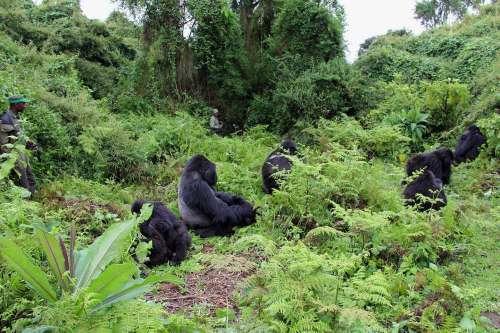 Gorilla Tracking Africa - Rwanda Safaris - 9 Day Gorilla Tracking and Chimpanzee Tour – Rwanda-Tanzania Wildlife