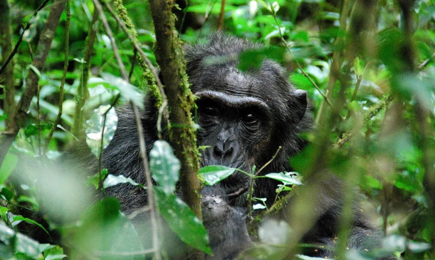 Chimpanzee Tracking in Kibale Forest National Park - Chimpanzee Tracking