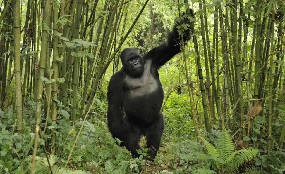 Close Encounter With mountain gorilla