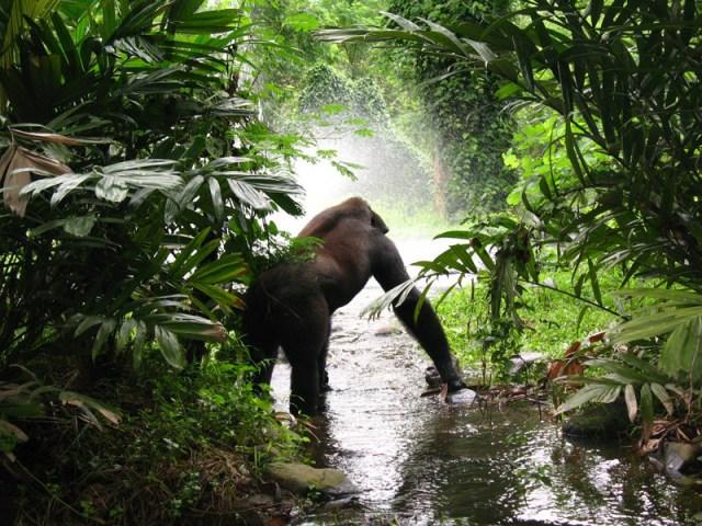gorilla habitat facts