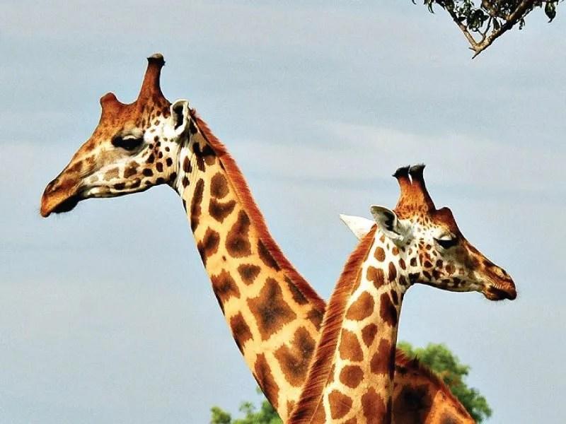 Ultimate Uganda Rwanda Safari