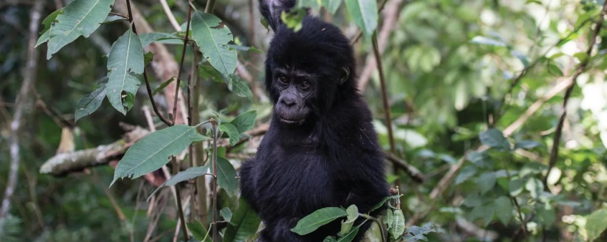The Oruzogo Gorilla Group Baby