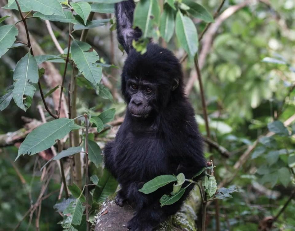 The Oruzogo Gorilla Group Baby