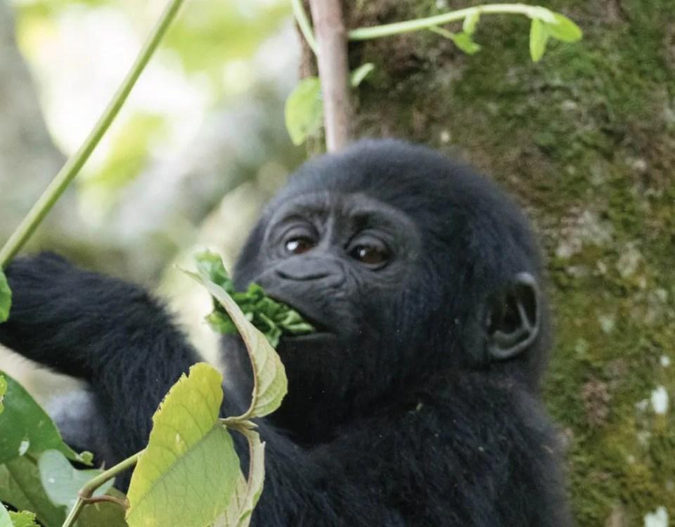 great gorilla trekking experience